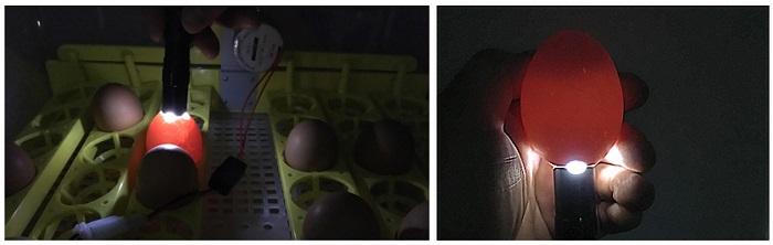 Проводить процедуру овоскопирования можно, не вынимая яйца из лотка